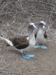 A pair of boobys.